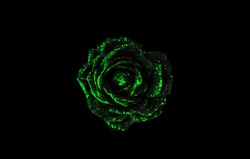 Black and green rose isolated on black background. Black and green abstract background. Green flower isolated on black background.
