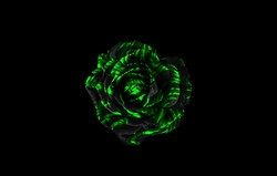 Black and green rose isolated on black background. Black and green floral background.
