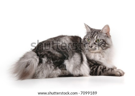 black and grey cat of kuril bobtail with small tail