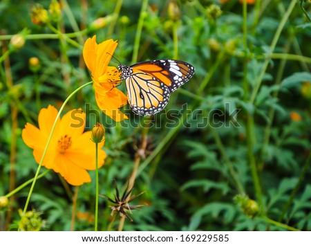 black and orange butterfly with orange flower field