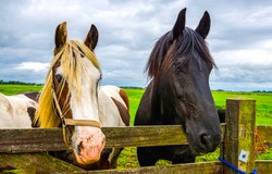 Black and piebald horses at farm fence portrait front view