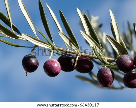 Black and purple olives on the olive tree ready to harvest in Provence, France.