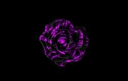 Black and purple rose isolated on black background. Black and purple floral background.