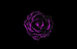 Black and purple rose isolated on black background. Purple flower isolated on black background. Black and purple abstract background.