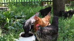 Black and red feather hens drink water and look into camera. Chicken peck herbs by beaks and graze in lush green grass at backyard of farmhouse. Poultry organic farming in countryside
