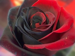 Black and red rose. Mix of black and red rose. Petals on a rose are a mix of red and black. One single macro close up of a black and red rose.