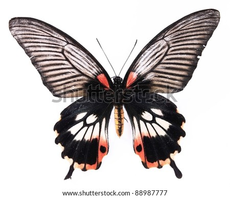 Black and red stripes butterflies isolated on white background