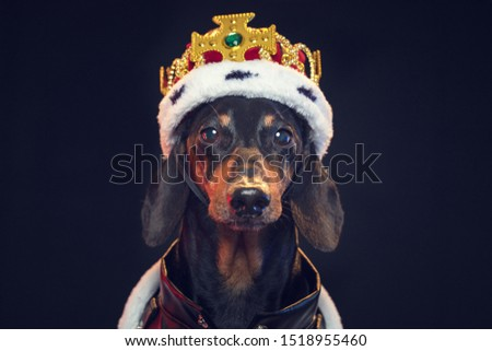 Black and tan adorable dachshund dog in a royal mantle and a crown on the stage Stock photo ©