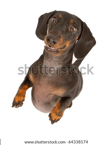 Black and tan Dachshund dog standing up and isolated on white