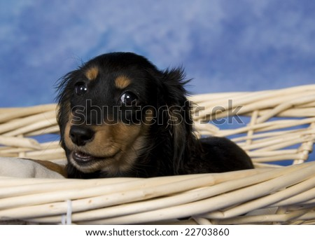 long haired dachshund black and tan. Black and tan long-haired