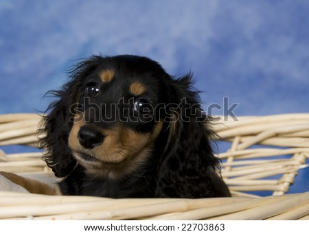Black and tan long-haired miniature dachshund. - stock photo