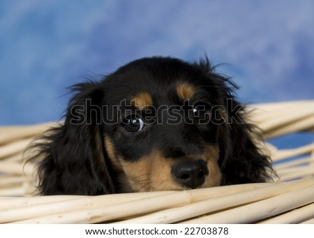 Black and tan long-haired miniature dachshund.