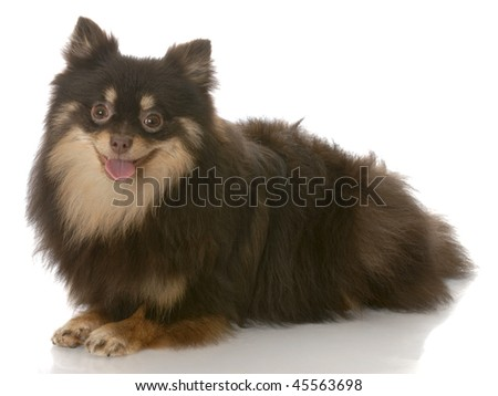 black and tan pomeranian puppy laying down - seven months old - stock