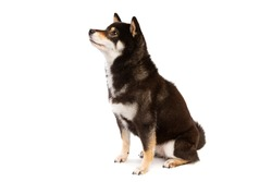black and tan Shiba Inu Japanese breed dog in front of a white background