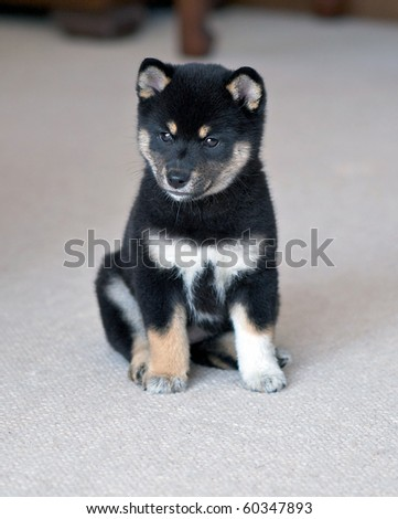 Shiba  Puppies on Black And Tan Shiba Inu Puppy Stock Photo 60347893   Shutterstock