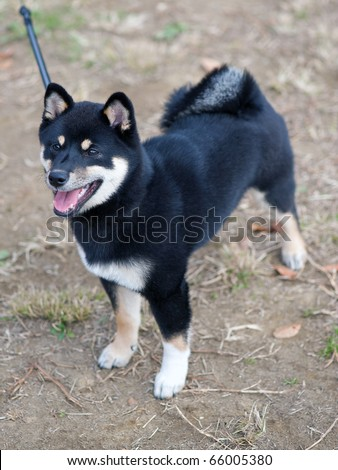 Shiba  Puppies on Black And Tan Shiba Inu Puppy At Four Months Old Stock Photo 66005380