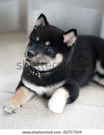 Shiba  Puppies on Black And Tan Shiba Inu Puppy At 8 Weeks Old Stock Photo 60757504