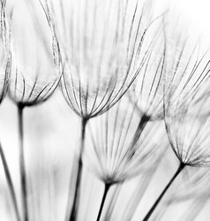 Black and white abstract dandelion flower background, extreme closeup with soft focus