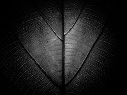 Black and white Abstract textures of Teak leaf, so grainy so Contrast and artsy, use as backgrounds or wallpaper