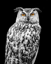 Black and White adult Owl with colorful eyes