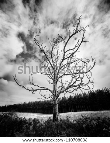 Black and White Alone Dead Tree with dramatic sky and pine plantation in the background