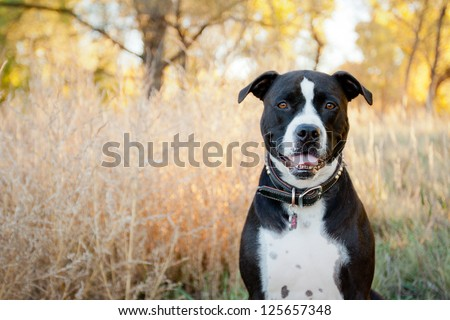 Black and white American Pit Bull Terrier siting and smiling in park