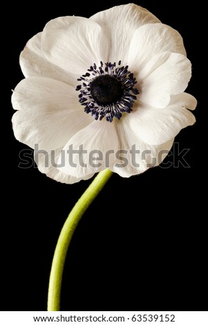 Black and White Anemone Isolated on a Black Background