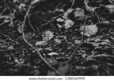 Black and white art close up picture of acorns on the ground