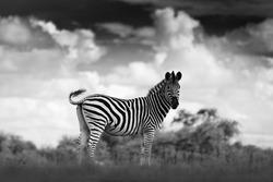 Black and white art photo. Zebra with dark storm sky. Burchell's zebra, Equus quagga burchellii, Nxai Pan National Park, Botswana, Africa. Wild animal on the meadow. Wildlife nature, African safari.
