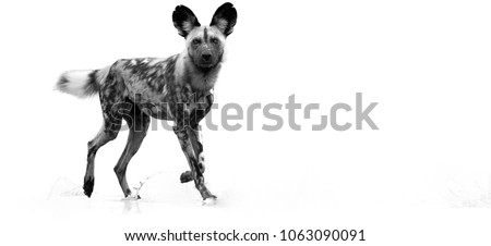 Black and white, artistic photo of  African Wild Dog, Lycaon pictus, walking in water, staring directly at camera.