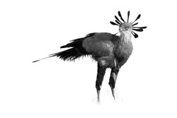 Black and white, artistic photo of terrestrial bird of prey, Sagittarius serpentarius, secretary bird with crown of black feathers, standing in grass of Kalahari. Auob river valley, Kgalagadi