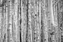 Black and white aspen trees make a natural background texture pattern in Colorado mountain forest landscape scene