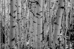 Black and White Aspen Turnk in Thick Forest of Great Basin National Park