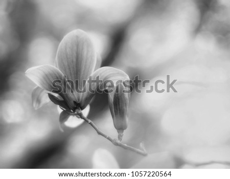 Black and white beautiful close up bloom of magnolia flowers. Blooming magnolia tree in the spring on the light and smooth background. Selective focus.  #1057220564