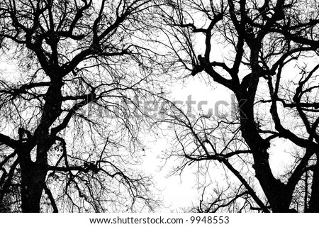 black and white big oak tree silhouette in winter