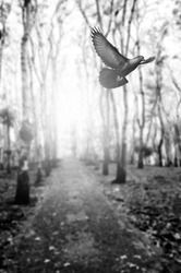 black and white  bird flying in woodland   for background