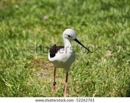 Black and white bird with sharp beak tagged with a ID ring