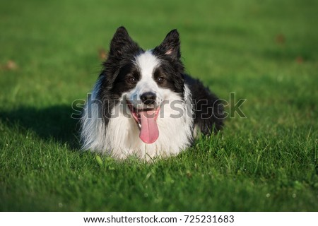 black and white border collie dog lying down on grass #725231683