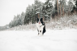 Black and white border collie dog running in snowy winter forest