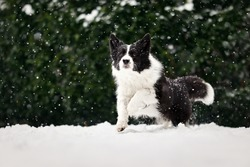 Black and White Border Collie Dog Runs in Snow during Snowfall in the Garden. Sheepdog Enjoys Cold Weather.