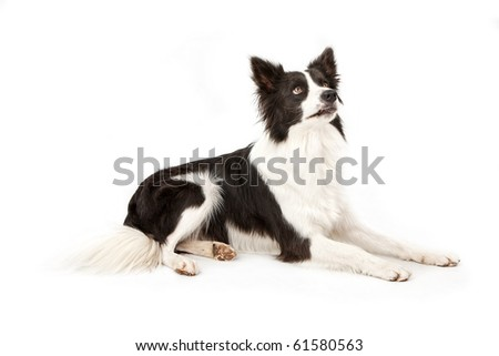 Black and white Border Collie looking up at owner for a treat. Isolated on white.