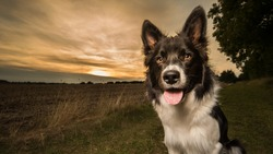 Black and White Border Collie Poses for Portrait Outdoors in Countryside with Sunset Behind