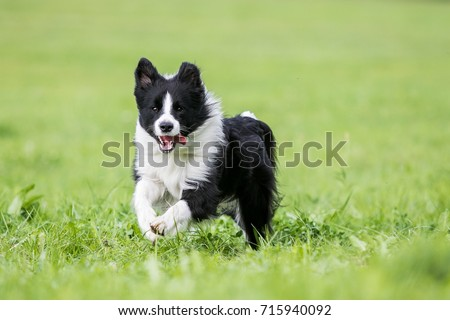 Black and white border collie running on the green grass #715940092