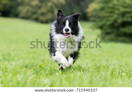 Black and white border collie running on the green grass #715940107