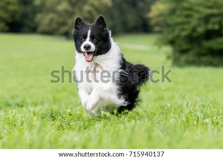 Black and white border collie running on the green grass #715940137