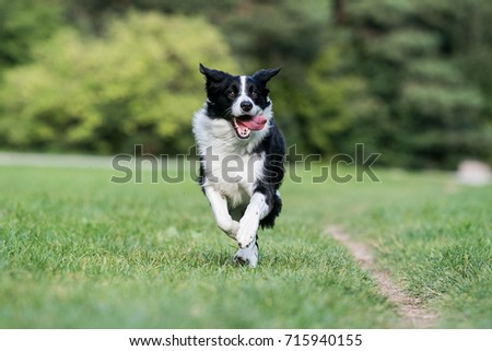 Black and white border collie running on the green grass #715940155