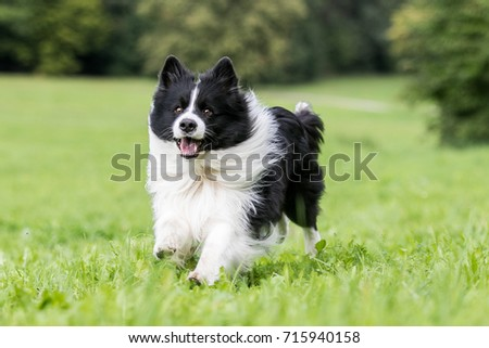 Black and white border collie running on the green grass #715940158