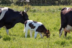 Black and white Breton Pie Noire calf and cows grazing in a field
