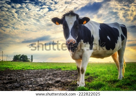 Black and white calf at green field