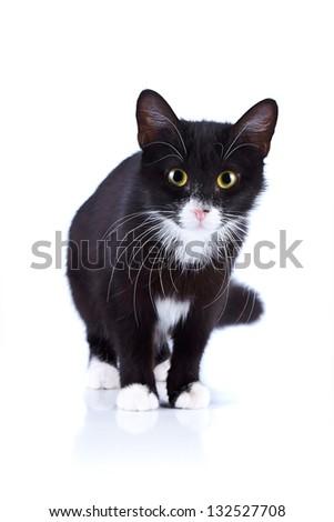 Black-and-white cat. Cat on a white background. Black cat. House predator. Small predatory animal.